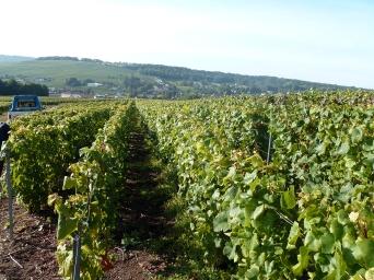 Vignes à Montbayen